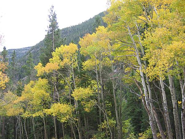 Aspen in Fall Colors - Along Old Fall River Road
