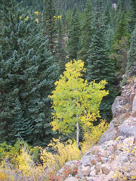 Fall Color Aspen - Fall River Basin