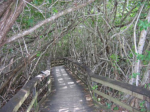 Mangrove Trail Boardwalk