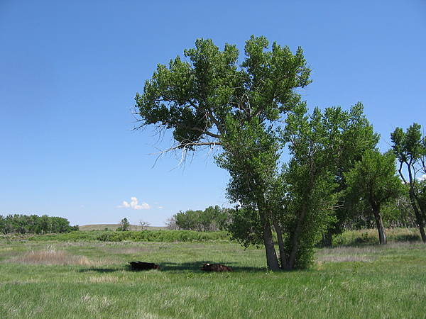 Long-Horn Cows Under a Cottonwood
