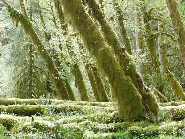 Moss-Covered Logs - Spruce Trail - Hoh Rain Forest
