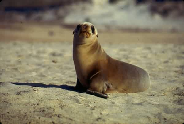 California Sea Lion Pup